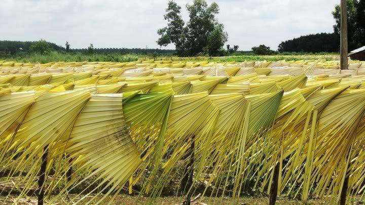 Lá được phơi khô dưới những vạt nắng vàng