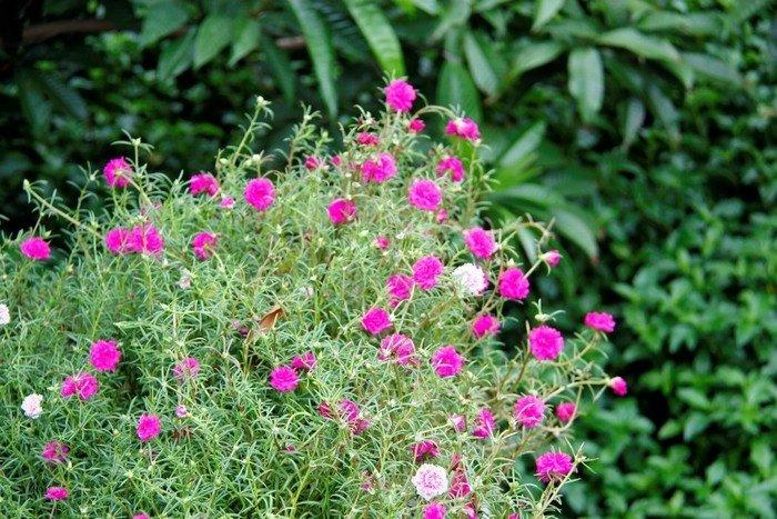Bụi hoa mười giờ rực rỡ ven đường