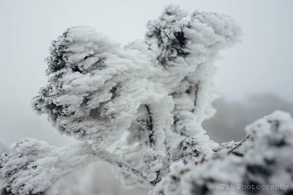Từng nhành cây Mẫu Sơn bị đóng băng trong giá lạnh