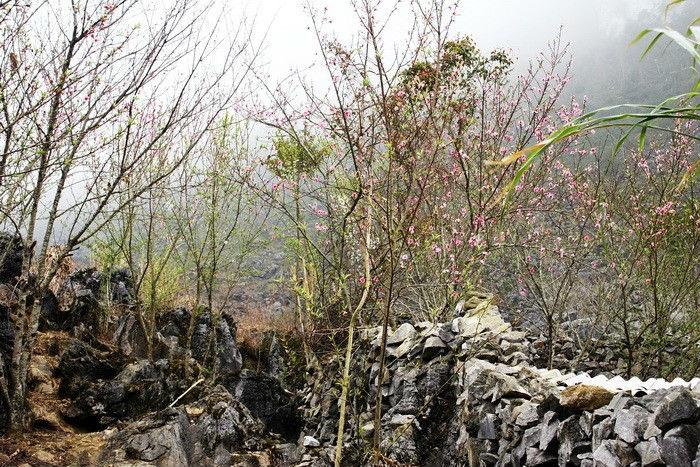Sắc hồng đào mộng thơ bên con đường đá Hà Giang