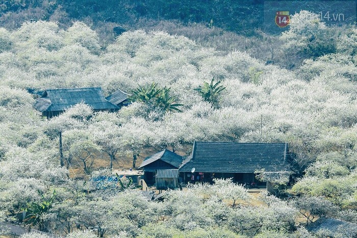 Nhìn từ xa người ta cứ ngỡ mùa đông bông tuyết phủ lấy toàn bộ cánh rừng Mộc Châu này