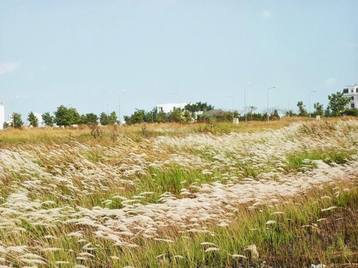 Đồng cỏ lau Sài Gòn bạt ngàn