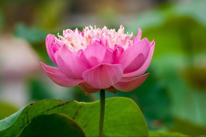 Hoa sen đẹp diệu kỳ ở Đồng Tháp