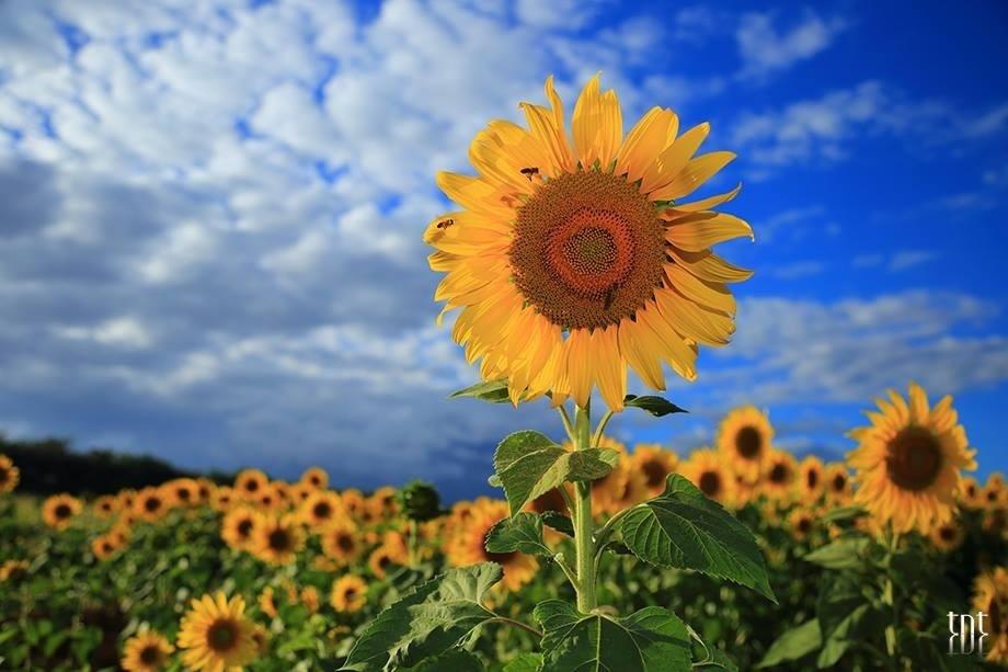 Lâm Đồng - Mặt trời tí hon khoe sắc