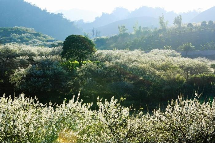 Mận trắng Mộc Châu nở thành rừng