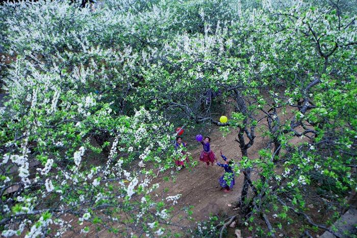 Sắc mận tinh khôi mang niềm vui tới tận các bản làng Mộc Châu