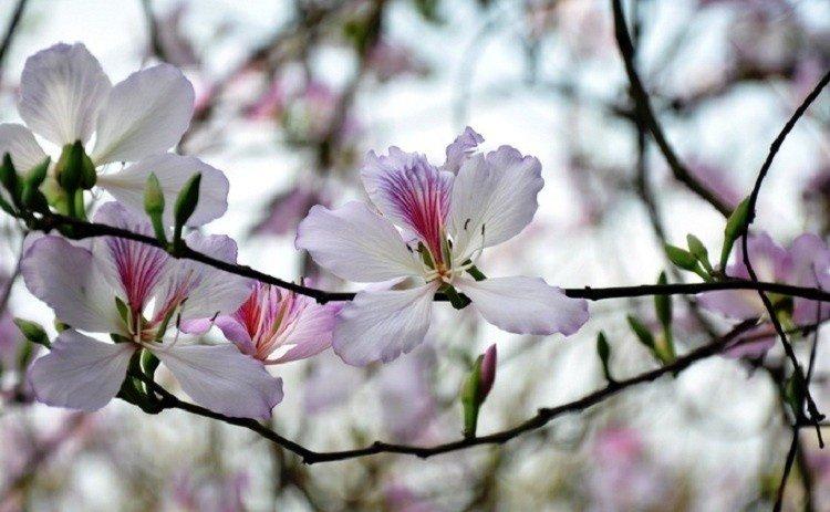 Có nhành hoa ban Mộc Châu e ấp những ngày cuối tháng 2