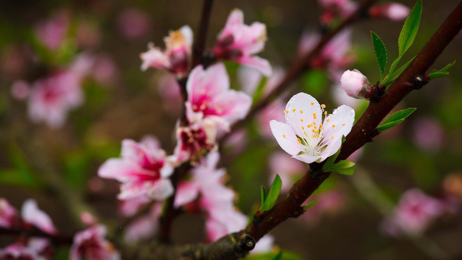 Những nhành đào Pháp Mộc Châu đầu tiên chợt nở hoa
