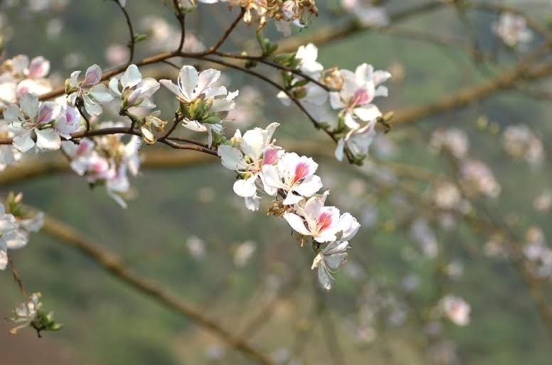 Những bông hoa Mộc Châu mộc mạc