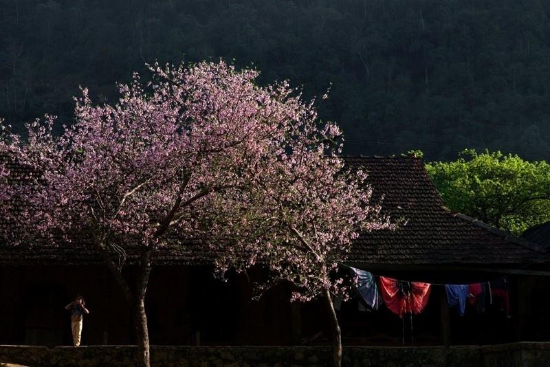 Và ngay khi cánh hoa rơi đều sân nhà bên vách núi Mộc Châu
