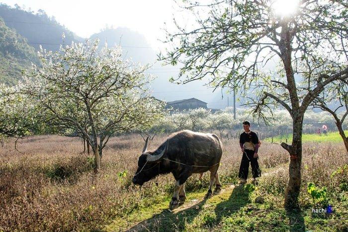 Công việc nhà nông Mộc Châu như giảm bớt mệt nhọc bởi khung cảnh thiên nhiên vô cùng tươi đẹp này