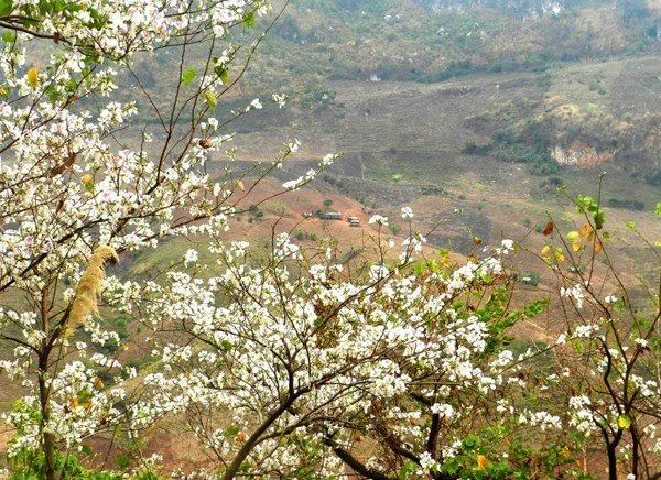 Mộc Châu tháng 3 bồng bềnh trong màu hoa ban trắng