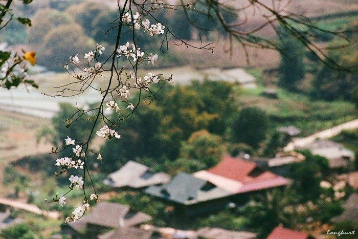 Tìm về Mộc Châu tháng 3 nghe truyền thuyết lãng mạn về loài hoa ban xinh đẹp