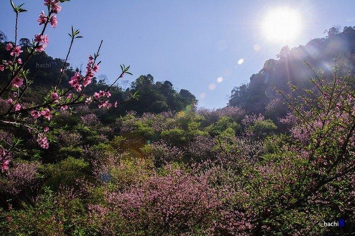 Hoa Mộc Châu khoe sắc trong ánh nắng còn vương màu lạnh
