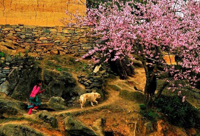 Sắc hoa đào nhuộm hồng cả cao nguyên đá Hà Giang