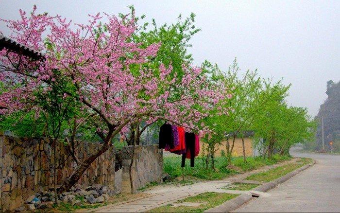 Đào khiến hàng rào đá Hà Giang cũng nở hoa