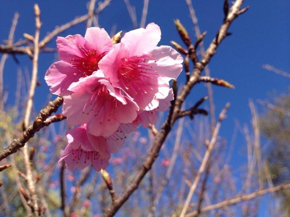 Anh đào Mường Phăng nở rộ báo hiệu một mùa xuân mới lại đến