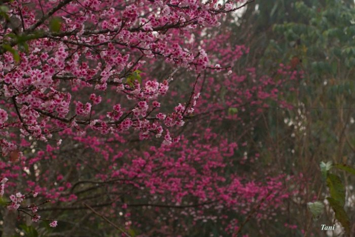 Giống hoa anh đào Nhật Bản bung nở đẹp lung linh