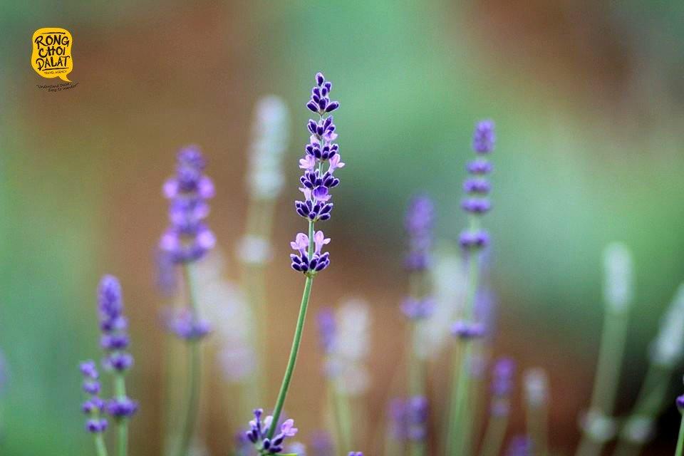 Những nhành hoa oải hương mới hé nở