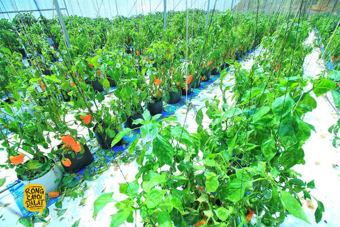 Vườn rau củ đáng yêu của Đà Lạt