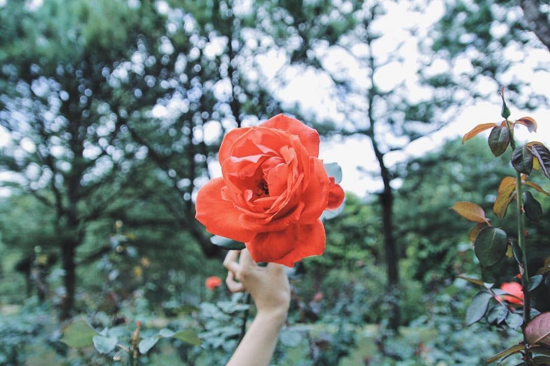 Hoa hồng khoe sắc trên tay ai