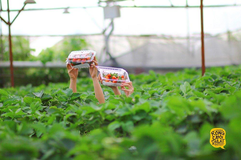 Chụp hình cùng vườn dâu tây