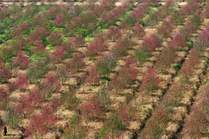 Nằm ở quận Tây Hồ (Hà Nội), làng đào Nhật Tân là một trong những vựa hoa nổi tiếng và lớn nhất miền Bắc, một thương hiệu của đất Hà thành và trở thành điểm đến không thể thiếu trong mỗi dịp Tết đến, xuân về.