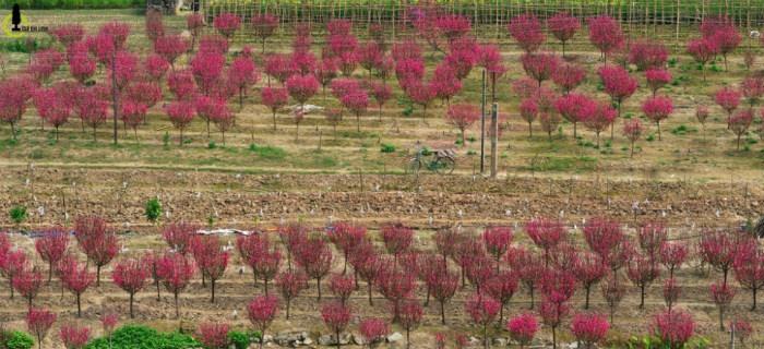 Năm nay thời tiết nắng ấm mấy ngày nghỉ lễ nên sau Tết hoa đào Nhật Tân đều đồng loạt nở bung