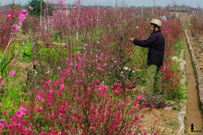 Công việc trồng đào kéo dài cả năm, bắt đầu ngay sau kỳ nghỉ Tết. Một vòng tuần hoàn mới cũng là một mùa xuân mới trên những thửa ruộng, vườn đào Nhật Tân... hướng về một mùa xuân kế tiếp của đời người.