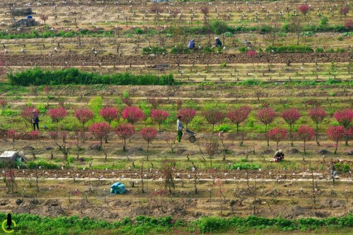 Rất dễ để nhận thấy sự đan xen màu sắc, tương phản rõ rệt giữa những khu vườn Nhật Tân đã cắt trụi bán trước Tết và những vườn chưa thu hoạch.