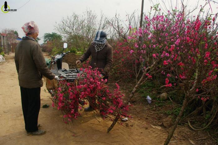 Các cành đào Nhật Tân cuối cùng được đem bán phục vụ những người vẫn còn lưu luyến không khí Tết cổ truyền.