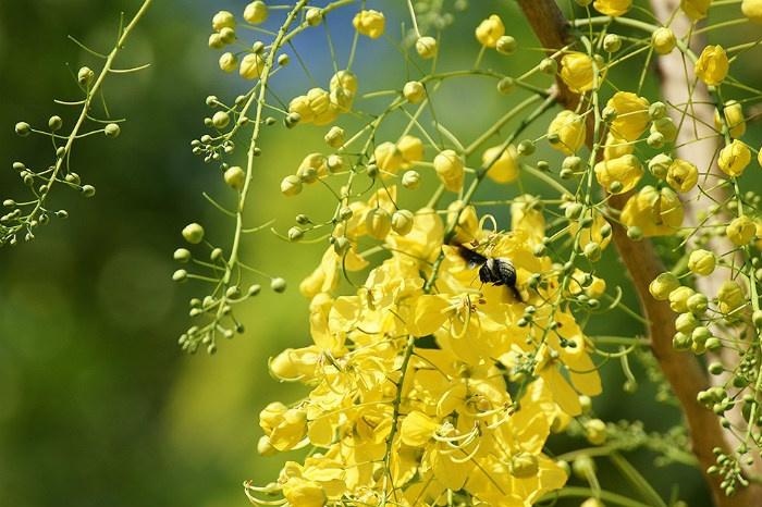Hoa bò cạp vàng Sài Gòn thu hút những chú ong nhỏ xinh đi tìm mật