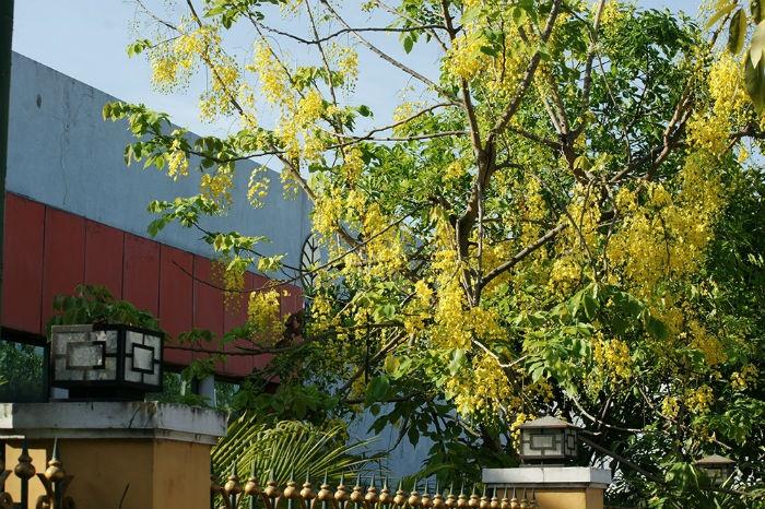 Sài Gòn - Loài hoa này vừa rực rỡ lại kiêu sa