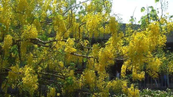 Ở Sài Gòn, hoa bò cạp có màu vàng đậm khá phổ biến