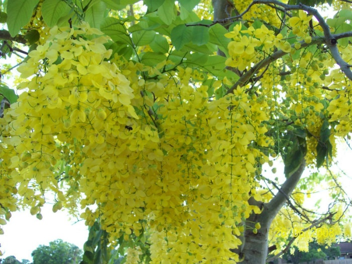 Nắng Sài Gòn như tan vào từng chùm hoa rực rỡ trên kia