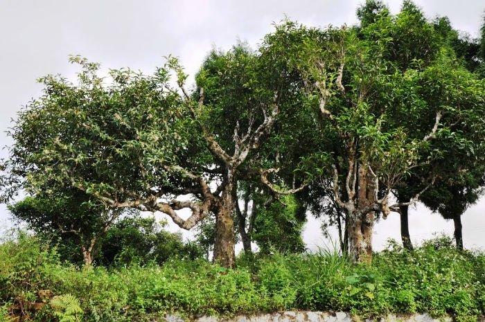 Những gốc chè cổ thụ Shan Tuyết nổi tiếng ở Suối Giàng