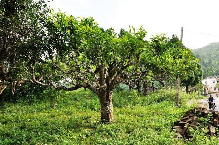 Chè Shan Tuyết - biểu tượng của chè xanh Suối Giàng (Yên Bái)