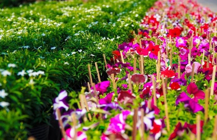 Những nàng hoa Tân Quy Đông lung linh ngày xuân