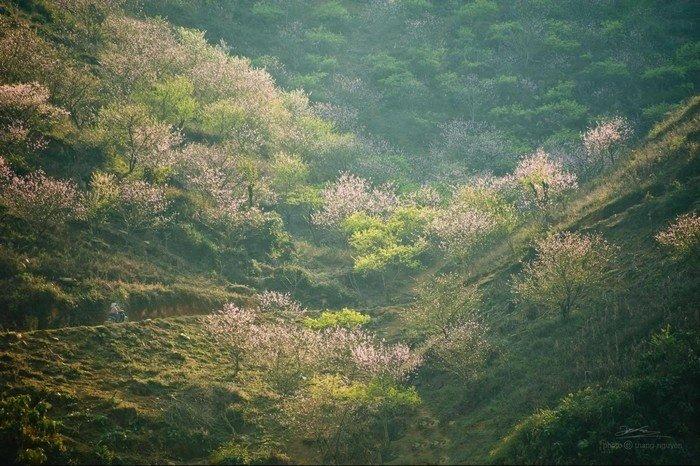 Sắc hồng đào ngập tràn trên thung lũng Tây Bắc