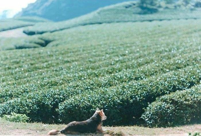 Chú chó vô tư, bình lặng nằm phơi nắng giữa đồi chè bát ngát màu xanh (Mộc Châu)