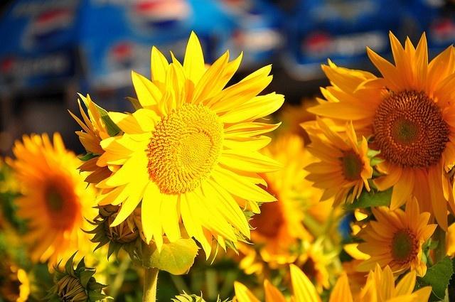 Sắc vàng thủy chung là hoa hướng dương