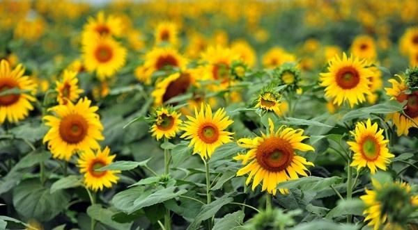 Rực rỡ sắc vàng cánh đồng hoa hướng dương Nghệ An