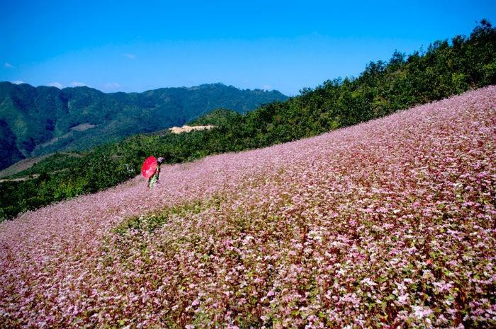 Loài hoa đặc trưng của cao nguyên đá Hà Giang