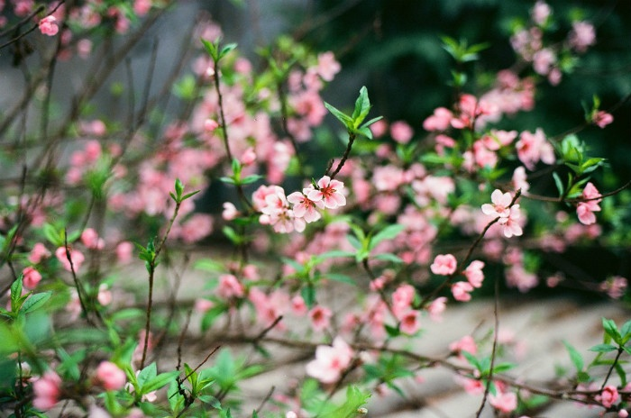 Đào Pháp Mộc Châu với vẻ đẹp mỏng manh, thuần khiết