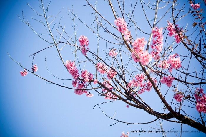 Trên nền trời xanh ngắt của mùa xuân Đà Lạt