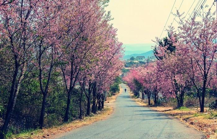 Hoa phủ hồng trên những cung đường Đà Lạt
