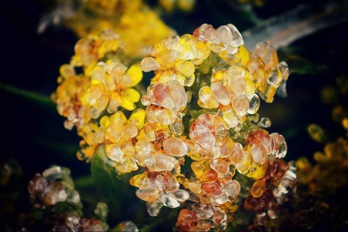 Đến cả những nụ hoa Sapa vừa mới nở cũng phải trốn mình ở trong băng