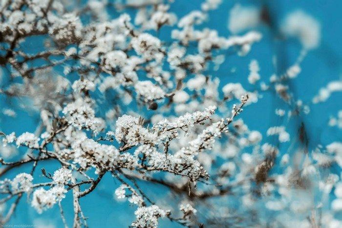 Màu sắc đẹp mê hoặc của hoa mận Mộc Châu