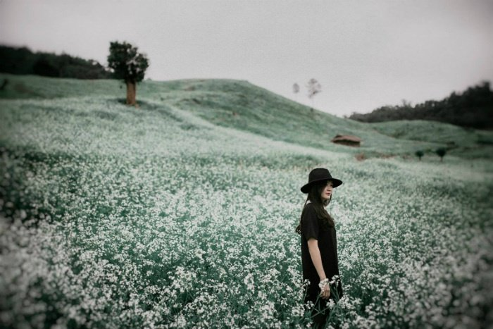 Những vườn cải Mộc Châu còn sót lại
