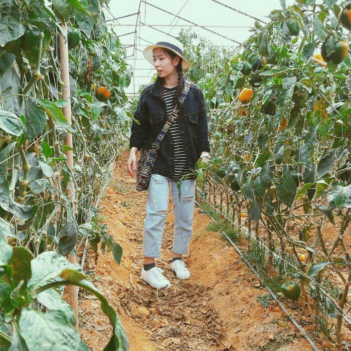 Vườn ớt của chú Hùng